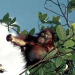 Borneo Orang-Utan (Pongo pygmaeus). Später erfuhren wir, dass der holländische Orang-Utan Schützer Will Smits vergebens versuchte, dieses Orang-Utan-Baby in sein Rehabilitationszentrum zu holen.