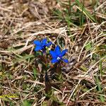 Frühlingsenzian (Gentiana verna L.)