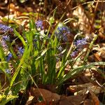 Zweiblättriges Blausternchen (Scilla bifolia)