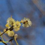 Salweide (Salix caprea L.)