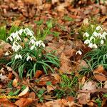 Schneeglöcken (Galanthus nivalis)