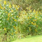 Sonnenblumenwald