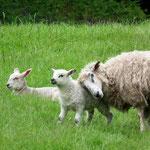 natürlich überall Schafe