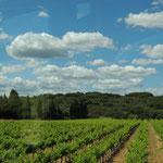 die ersten Weingärten