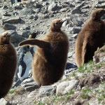 junge Königspinguine