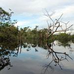 der Igapo Regenwald