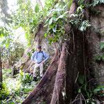 nur die Wurzel eines Kapokbaumes