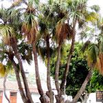 einzigartige Palme die sich 7 x verzweigt!