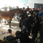 2 tes Pferd mit Hufrehe siehe Röntgenbild
