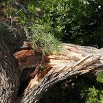 Baum kippte im Sturm um
