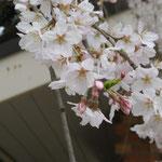桜も美しかった...