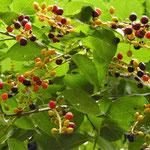 ウワミズザクラの果実