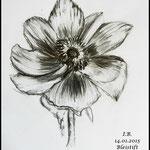 Bleistiftzeichnung Blüten