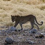 Leopard (Etoscha)