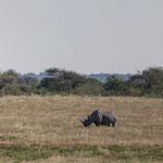 Nashorn (Etoscha)