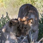 Löwenliebe (Etoscha)