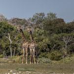 Zwei Giraffen (Etoscha)