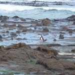 The cute very rare yellow-eyed penguins in Curio Bay in the Catlins