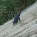 Yellow-eyed penguin on the Otago Peninsula