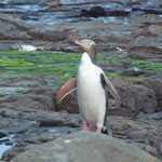 The cute very rare yellow-eyed penguin in Curio Bay in the Catlins