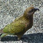 Kea, an alpine parrot