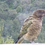 Kea, a naughty alpine parrot (they come begging for food)
