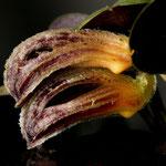 zootrophion beloglottis