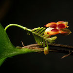 lephanthes larvina