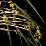octomeria decumbens