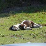 Pony beim Sattelbauern