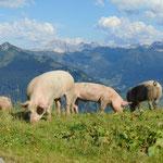 Die Schweine grasen knapp oberhalb der Aualm