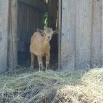Auf der Alm sah ich das wohl kleinste Ziegenbaby, das mir bis dato untergekommen war :)