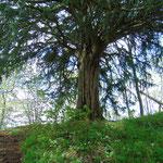Dieser Baum war für mich sehr beeindruckend - wie alt er wohl schon ist?