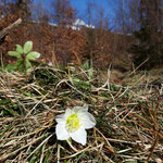 Schneerosenblüte (im Februar)