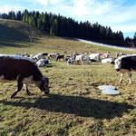 Kühe im Kessel der Höss