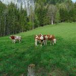 Direkt neben dem See treffen wir auf einige neugierige Kühe