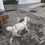 Verspielte Hunde auf der Terrasse