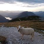 Sehr zutrauliche Schafe am Krippenstein Gipfel