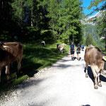 Gleich zu Beginn passieren wir am Weg zum Frauenkarlift eine neugierige Kuhherde