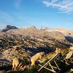 Morgenstund hat Gold im Mund - hier gleich einige Schafe vor dem Dachstein