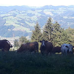 Vorbei an einer Herde Kühe