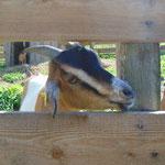Auch die anderen Ziegen waren sehr fotogen