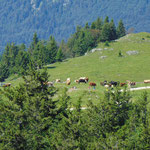 Kühe auf der Schafbergalm bei der Talfahrt