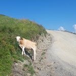 Kühe am Weg zur Bergstation des Star Jet II