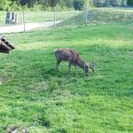 Auch an diesem wunderschönen Hirsch ging es vorbei