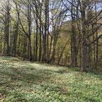 Wegverlauf durch den Frühlingswald