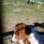 Pony auf der Hochsteinalm