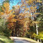 Wieder retour über die Forststraße durch den herbstlichen Wald
