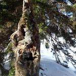 Vorbei an diesem knorrigen Baumstamm