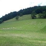 Und auch eine ganze Menge Schafe ist rundum unseren Ausgangspunkt unterwegs